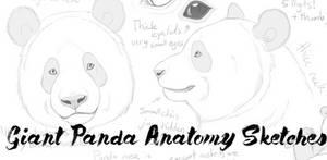 Giant Panda anatomy sketches