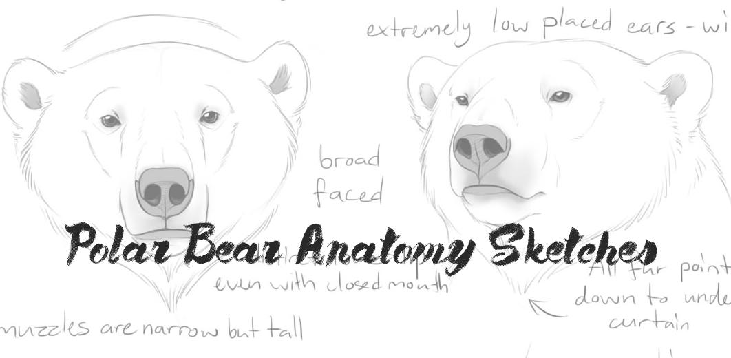 Polar Bear anatomy sketches by Bear-hybrid on DeviantArt