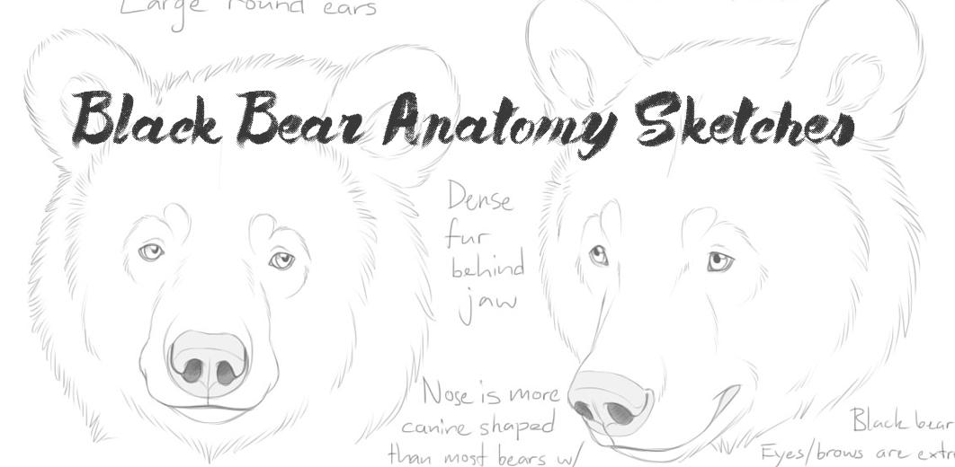 Black bear anatomy study by Bear-hybrid on DeviantArt