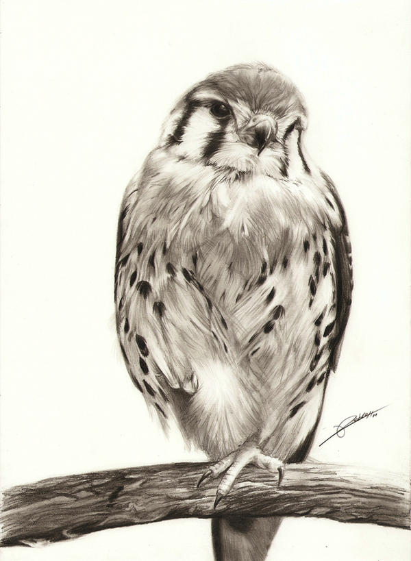 kestrel by ambr0 on deviantart