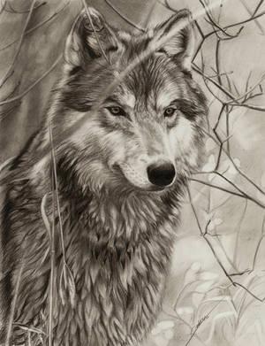 Awaiting Wolf