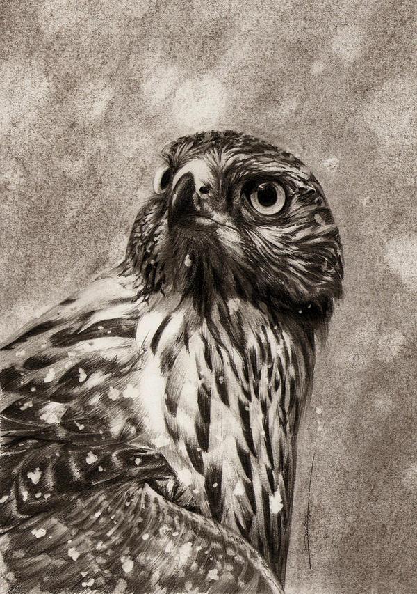 Goshawk Stare by AmBr0