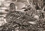Ducks by AmBr0