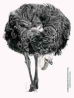 Ostrich by AmBr0