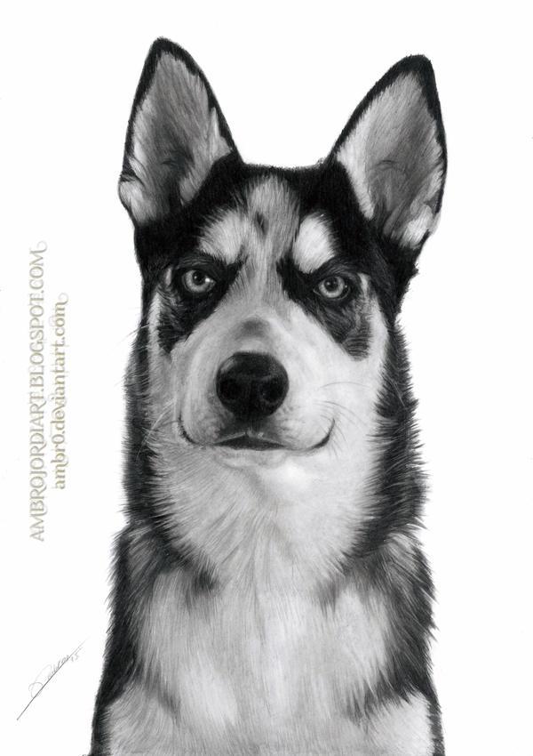 Husky by AmBr0