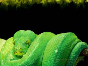 Green Tree Python by AmBr0