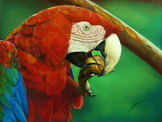 Scarlet Macaw Drawing by AmBr0