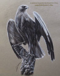 Western Marsh Harrier Drawing by AmBr0