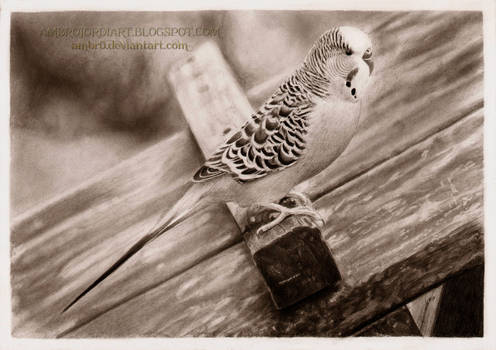 Parakeet Sammi Drawing