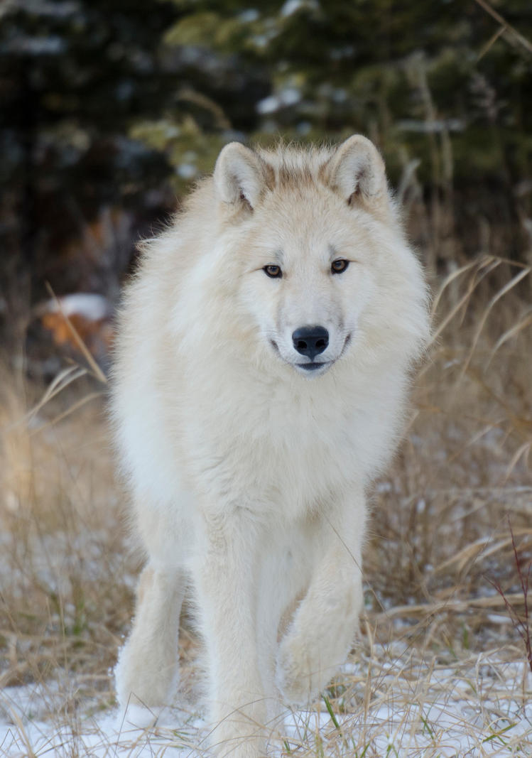 arctic wolf pup with blue eyes