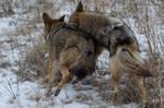 Coyotes at play