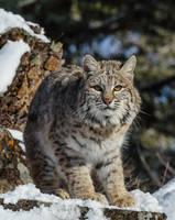 Bobcat I by White-Voodoo