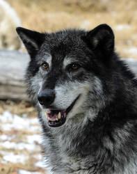 Dark Wolf VII by White-Voodoo