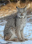 Quiet Canadian Lynx