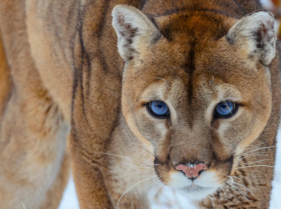 B Mobile Mountain Lion Cougar Stare II by Whi...