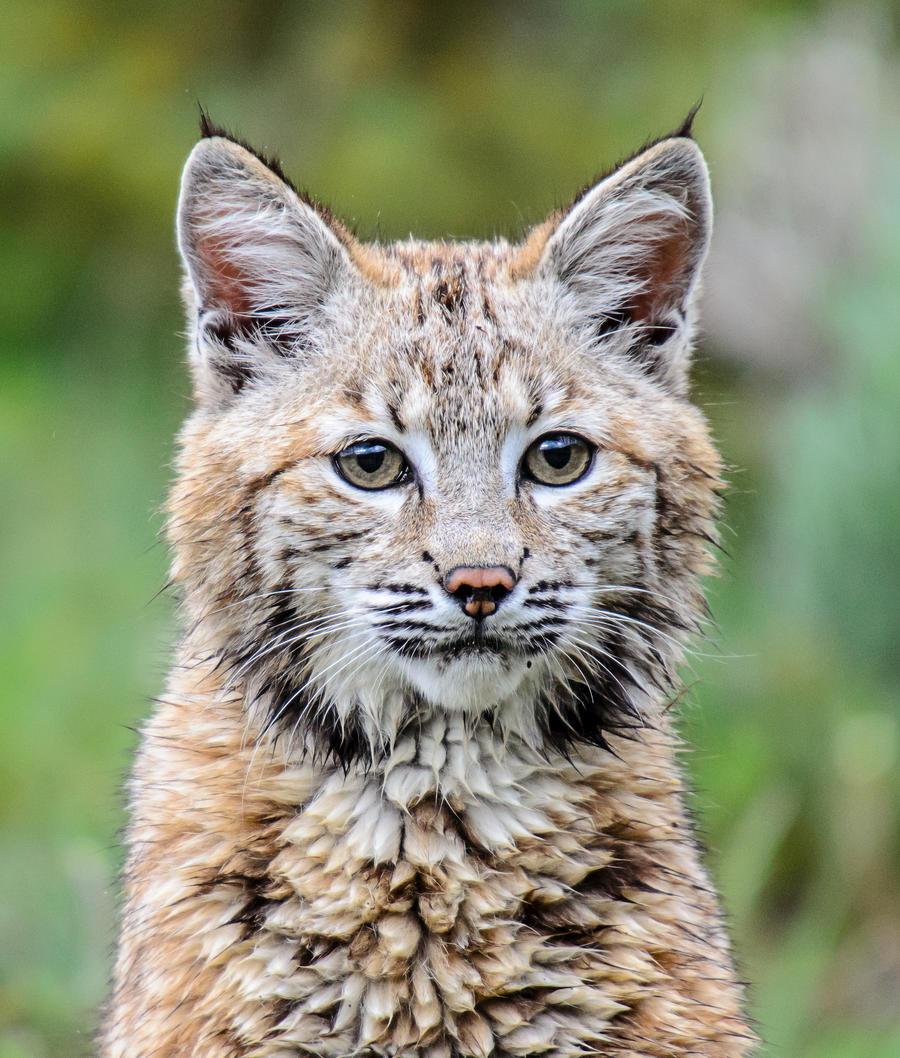 Cute baby bobcat - photo#12