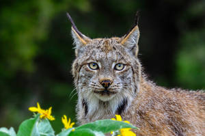 Lynx Stare by White-Voodoo