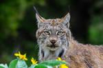 Lynx Stare