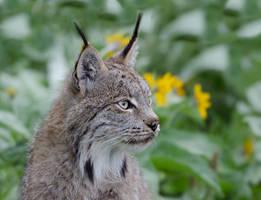 Lynx Portrait... by White-Voodoo