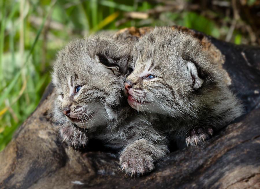 Bobcat Kittens II