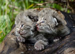 Bobcat Kittens II by White-Voodoo