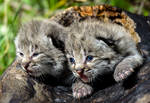 Bobcat Kittens III