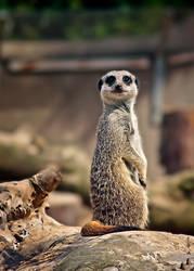 wee meerkat by roxiannie