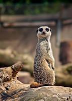 wee meerkat