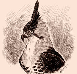 Crested Eagle Sketch by JuanitoMedina