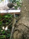 Lizard in Thailand