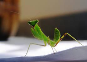 Baby praying mantis by alfeign