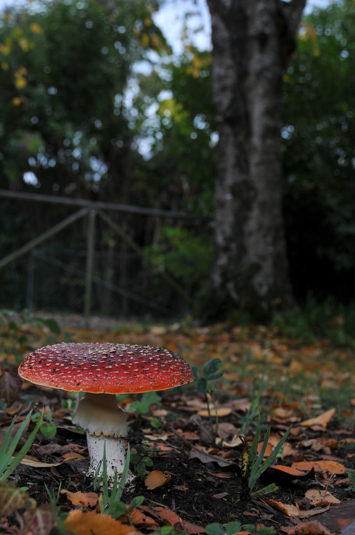 Red Mushrooms 10 by ky-sta