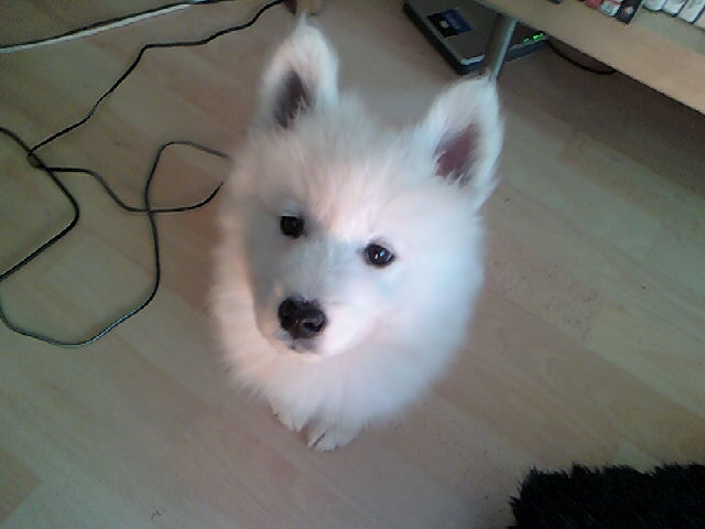 Lexie_The_Samoyed_Puppy_by_SupaNoodle.jpg