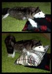 Wolfy-fox - Commission