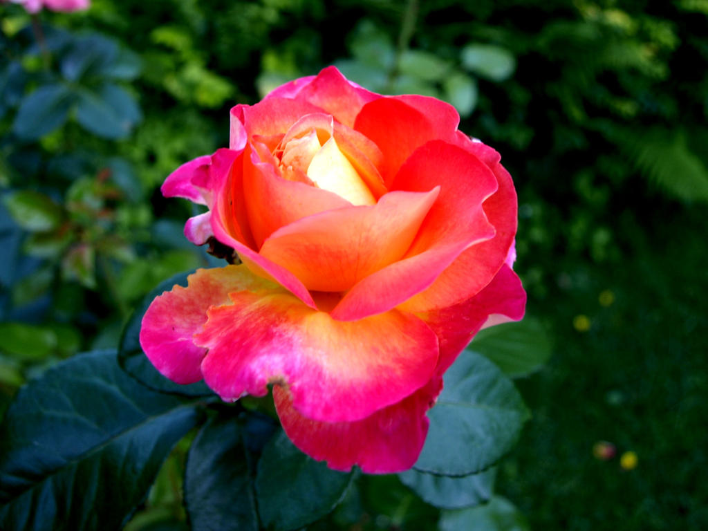 Rose - Orient Express - color explosion