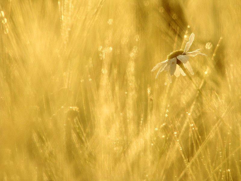 31.7.2009: Morning Gold by Suensyan
