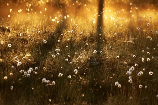 5.6.2021: Cotton Grass