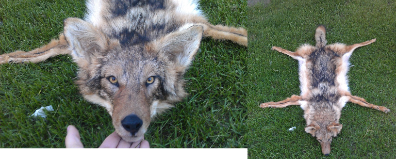 Wolf Sized Coyote Rug For Sale By LittleWolfPaw ...