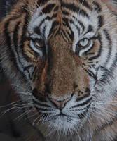 Tiger close up. by LukeT66
