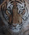 Tiger close up.