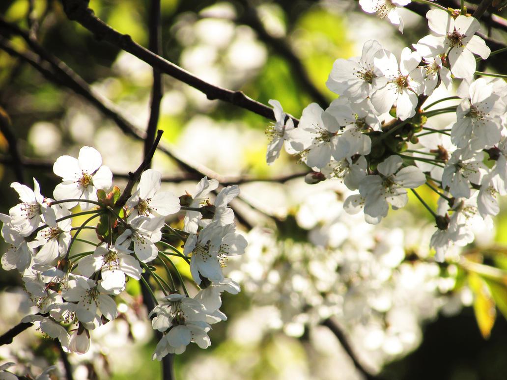 Spring Blossom by Emily18495