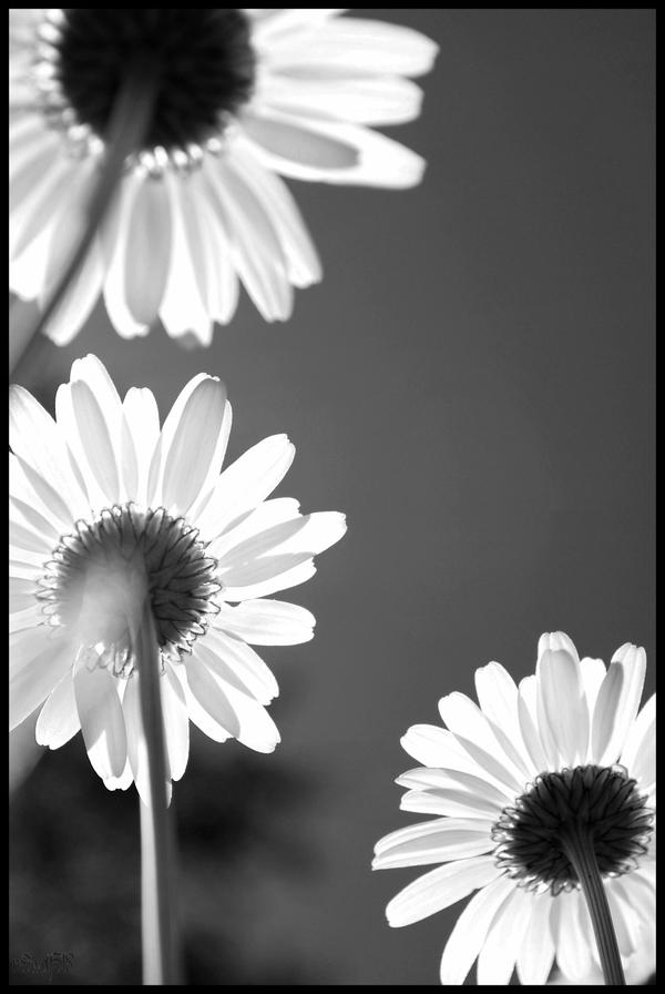 Grey Daisies by redwolf518