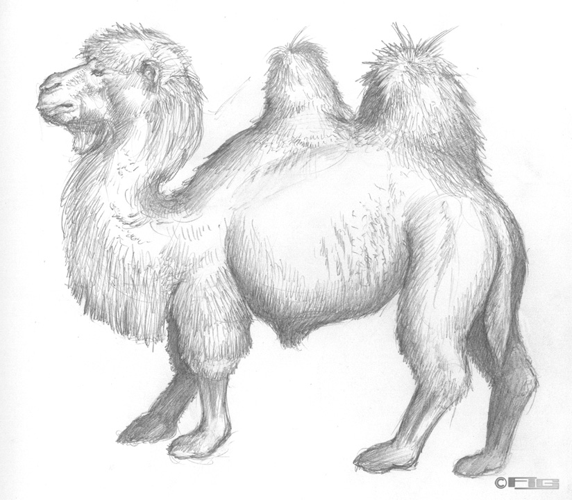 Camel drawing at SD Zoo by fig on DeviantArt