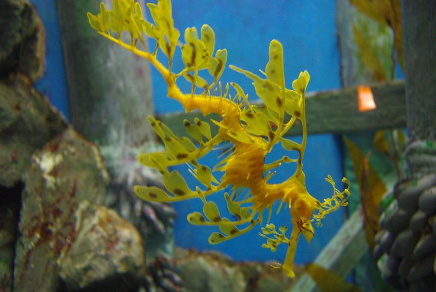 Leafy Sea Dragon by xSammyKayx
