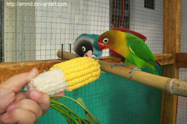 Corn time by emmil