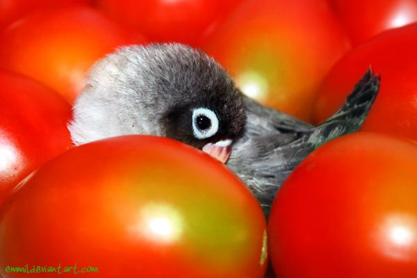 Tomato bird by emmil