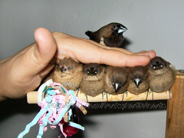 How to mass rub finches by emmil