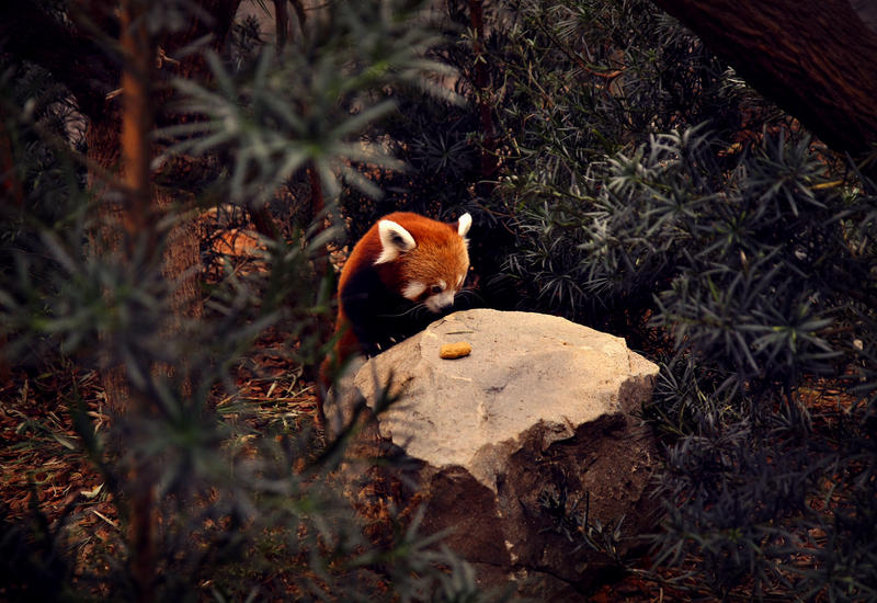 red panda by JolsAriella