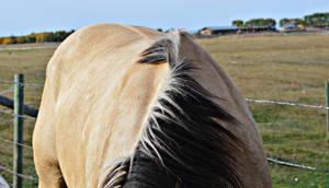 Buckskin Horse Back