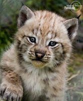Baby lynx by MartinePersson